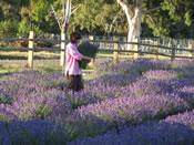 Stay amongst the lavender fields at your boutique Marlborough B&B accommodation
