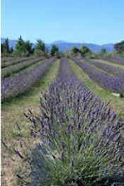 Delight in the lavender experience at French Fields Marlborough Bed & Breakfast